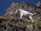 Mountain goat above