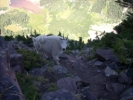 Mountain goat passing by